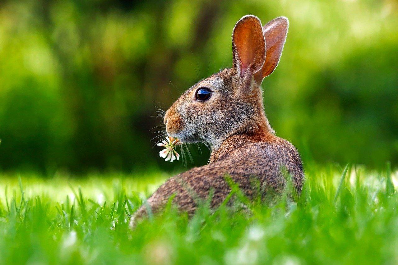 Jaký je rozdíl mezi králíky a zajíci?