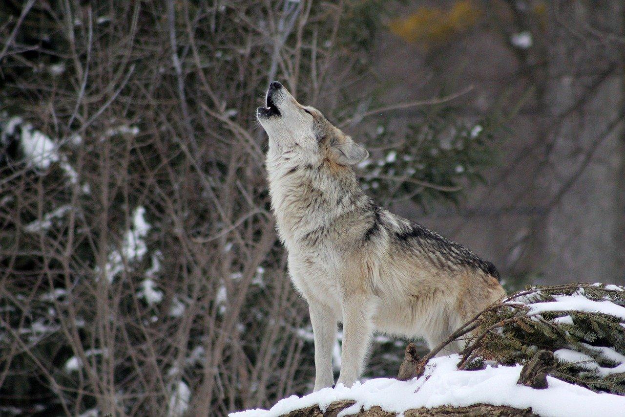 Proč vlci vyjí?